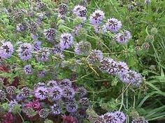 Pennyroyal // Helps to repel mosquitoes, gnats and also ticks and fleas! Pennyroyal is often used in commercial natural insect repellent creams and sprays. Pennyroyal is great to plant in the garden.