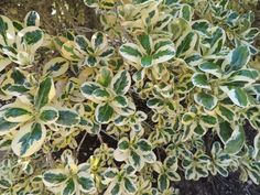 PlantFiles Pictures: Coprosma, Variegated Mirror Bush 'Silver Queen' (Coprosma repens) by palmbob Driveway Entrance, Famous Daves, Decks, Gardens, Yard, Queen, Mirror, Plants, Silver