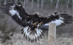 Golden Eagle Incoming - A Golden Eagle about to land on a post. Thanks to the Canadian Raptor Conservancy for the opportunity.