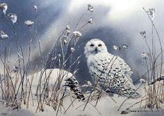 The snowy owl turns his head almost a hundred and eighty degrees just to see whats behind him in this Susan Bourdet print.