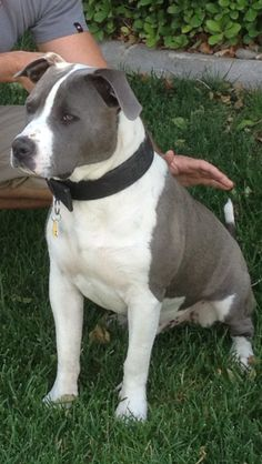 #pitbulls #dogs Beautifully marked pitty   ...........click here to find out more     http://googydog.com