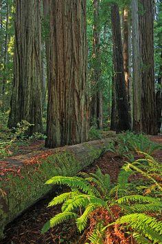 Stout Grove, Jedediah Smith Redwoods State Park