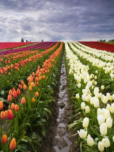 By Artist Unknown🇺🇸. ✯ The colorful tulip fields around Mt. Vernon Washington during the Spring Tulip Festival in Skagit County Tulips Flowers, All Flowers, Spring Flowers, Planting Flowers, Beautiful Flowers, Spring Colors, Beautiful Places, Mother Earth, Mother Nature