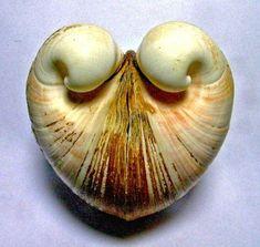 <3 ox heart clam