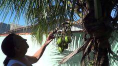 Como cuidar do pé de coco
