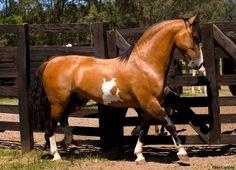 (99) Fotos da Linha do Tempo - Cavalos Crioulos