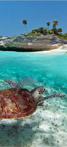 Cozumel, Mexico - This picture is a beautiful capture of the image of Cozumel Mexico. The turtle is a perfect image of an island escape. I've been to Mexico before and I love all the resorts they have located there. Cancun is quite like this.