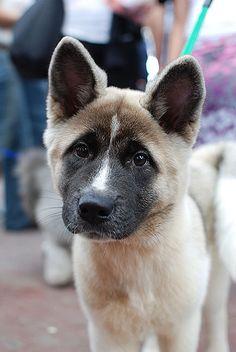 American Akita puppy #Dog