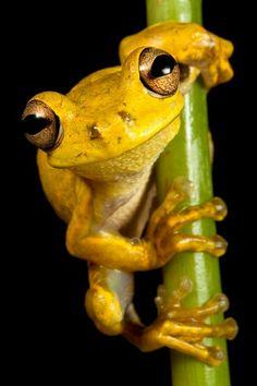 Hispaniolan Yellow Treefrog (Osteopilus pulchrilineatus)