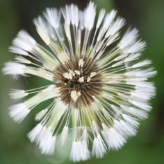 The Longer View Dandelion, Flora, Green, Nature, Plants, Portraits, Beautiful, Architecture, Swimwear