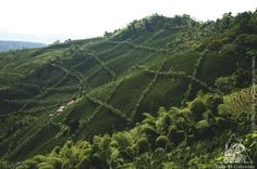 Some of our mountains are covered by a carpet made with coffee crops.