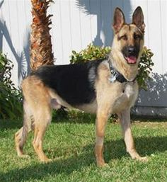 Courage's Miraculous Recovery      Photo http://www.ocregister.com  On April 7, 2010 the German Shepherd Rescue of Orange County, CA rescued a starved 3 year old German Shepherd. The dog lay emaciated but still breathing in an airport carrier in a family garage. This is him now!