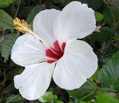 Китайская роза гибискус белых и красных цветов