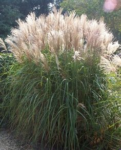 Maiden grass (Miscanthus), partial to full sun, beautiful clumps planted around our pond.
