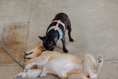 Dolly making new friends in Austin Make New Friends, French Bulldog, Animals, Animales, Animaux, French Bulldog Shedding, Bulldog Frances, Animal, Animais