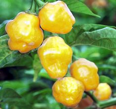 trinidad perfume pepper...going to look for these this year.  just heard about them on 'you grow girl's' podcast.