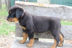"""See our site for additional info on """"rottweiler puppies"""". It is a great location to read more. Rottweiler Facts, Rottweiler Puppies For Sale, German Rottweiler, Cute Puppies, Cute Dogs, Dogs And Puppies, Chihuahua Dogs, Doggies, German Dog Breeds"""