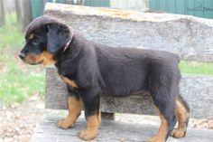 Meet SADIE a cute Rottweiler puppy for sale for $500. AKC GERMAN ROTTWEILER FEMALE ** SADIE**