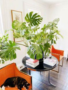 Monstera. Garden. plants. Indoor plants. Houseplants. Ornamental plants. Plantsbank. Gardening
