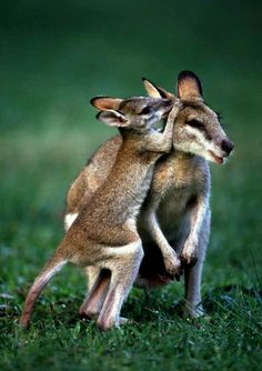 Wallabies Pssst I have a secret to tell you!