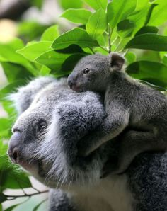 Mother & baby koala - so cute