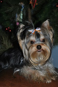 Our favorite Richie Yorkshire Terrier