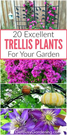 Trellis plants are wonderful for adding height, beauty and interest to your garden. There are lots of different types of climbing plants. This list has several options including climbing flowers for sun or shade, annual flowering vines, tropicals, and even the best vining vegetables for vertical gardening.