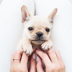 Batpig & Me Tumble It • Time for Tickles!! #frenchbulldog...