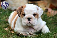 Daisy – English Bulldog Puppies for Sale in PA | Keystone Puppies