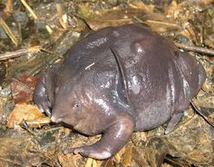 Strange Animals: The doughnut-shaped, Indian purple frog. A burrowing species discovered in 2003.  #weird #frogs