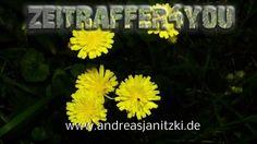 Wald Habichtskraut Hieracium murorum wall hawkweed fewleaf Blooming Time...