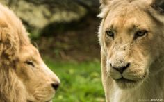 The lioness's look by Arnaud JEANNE on 500px