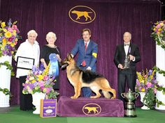 2016 Group 1 Westminster. Rumor, the gorgeous German Shepherd Dog who won the Herding Group at the 2016 Westminster Kennel Club Dog Show. I love her!!