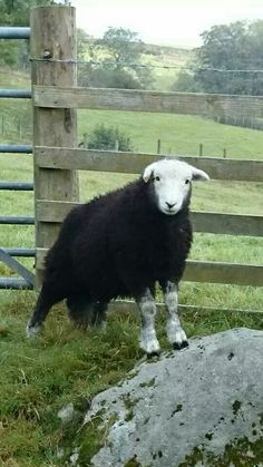 A territorial Herdy from Alison Toolan.