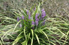 Buy big blue lily-turf Liriope muscari: Delivery by Crocus