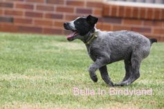 My Mums happy little pup! cute adorable cattle dog cattledog pup puppy Australian Cattle dog, stumpy tail. LOVE. Bella In Bindyland
