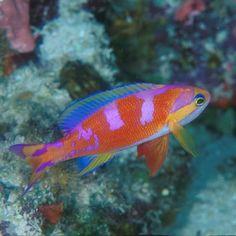Psuedoanthias calloura - Aurora Anthias, western central Pacific
