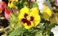 pansy - - Yahoo Image Search Results