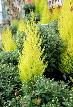 Add magic to your winter landscape with miniature conifers