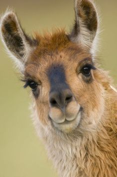 Inch Print - High quality print (other products available) - Llama {Lama glama} portrait, captive, Peru - Image supplied by Nature Picture Library - Photo Print made in the USA Farm Animals, Animals And Pets, Funny Animals, Cute Animals, Funny Animal Faces, Smiling Animals, Alpacas, Lama Animal, Peru Image