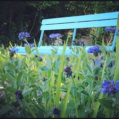 Blue fermob garden bench amongst cornflowers   Instacanv.as Photo by kitzieg
