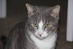 Tom is a handsome young health #Tabby to #adopt near #Orlando Embedded image permalink