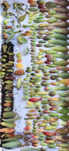 Succulent leaf cuttings-grow your own succulents-propagation-cacti-drought tolerant- succulent cuttings-succulent�