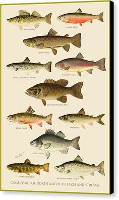 American Game Fish Canvas Print Art By Gary Grayson