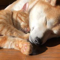 今日の兄弟➰ * せっかく、昨日下ろしたベッドには寝ずに、また以前のように床で寝る岳と寅次朗〰️ * 気まぐれなふたりです ----*----*----*---- Today 's brother * Brothers sleeping on the floor without sleeping in a new bed ----*----*----*---- #柴犬 #岳 #柴犬岳 #柴犬ガク #gaku #shibainugaku #shiba #shibainu #shibastagram #猫 #ねこ #ニャンコ #寅次朗 #茶トラ #まるどら #今日の寅次朗 #かわいい #ピンクの肉球 #仲良し兄弟 #岳と寅次朗 #癒されまくり #幸せな光景 #動画です #寅次朗のゴロゴロ #今日の昼下がり #20171220