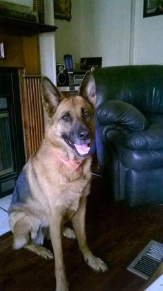Meet Jozey, a Petfinder adoptable German Shepherd Dog Dog | Green Cove Springs, FL | Experienced K9 Handler Home OnlyJozey is a 4 year old, Black and Red, Female German Shepherd. She...