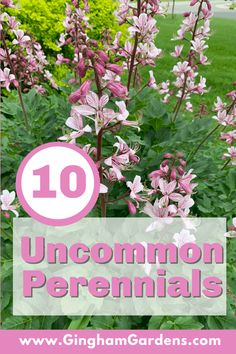 Take your ordinary perennial garden to extraordinary by add some of these Underused or Uncommon Perennial plants to your gardens. #uniqueperennials #underusedperennials #ginghamgardens