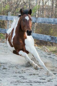 Pinto horse #pintohorse #equine