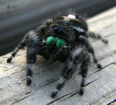 Top 10 Myths About Spiders Phidippus audax (Bold Jumping Spider). Reptiles, Lizards, Snakes, Scary Bugs, Scary Spiders, Animals And Pets, Cute Animals, Spider Costume, Jumping Spider