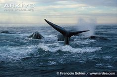 Endangered Species of the Week: North Atlantic right whale
